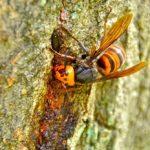 スズメバチに出会ったらどうする?威嚇音警告音とは?撃退法ある?