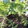 大根の収穫時期は冬のいつまで?遅れるとどうなる?保存方法はどう?