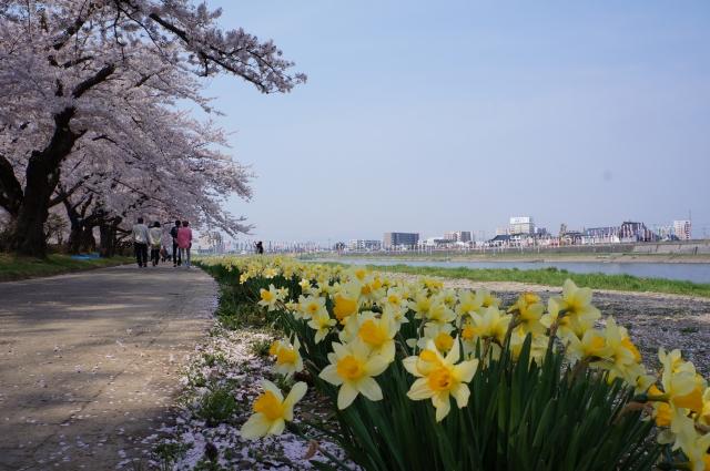 北上市展勝地の桜開花情報!いつまで見頃?おすすめ駐車場はここです。