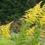 ブタクサ花粉いつまで飛散する?アレルギーに効果的な食べ物と対策は?