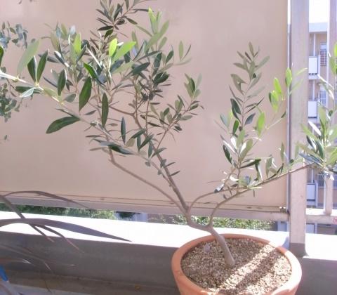 元気なオリーブの木