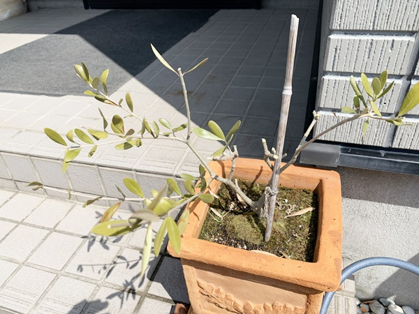 剪定したオリーブの木