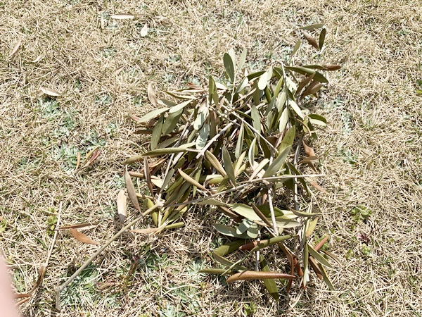 オリーブ 剪定 葉