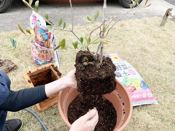 オリーブの木 植え替え