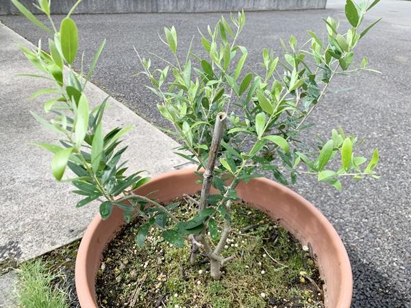 オリーブの木が復活した