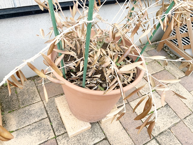 オリーブ 枯れた 枝 剪定