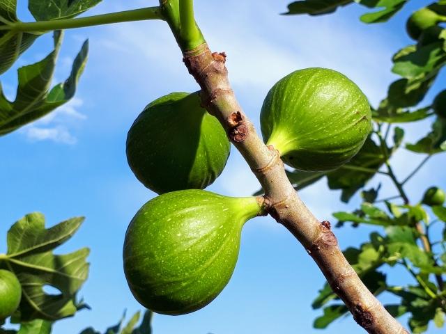 いちじくの害虫と予防まとめ!実がなるまでと摘果収穫時期について