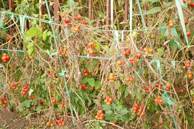 トマトは枯れた時復活するのでしょうか?葉っぱや枝の処理方法や枯れた後処理の仕方を解説!