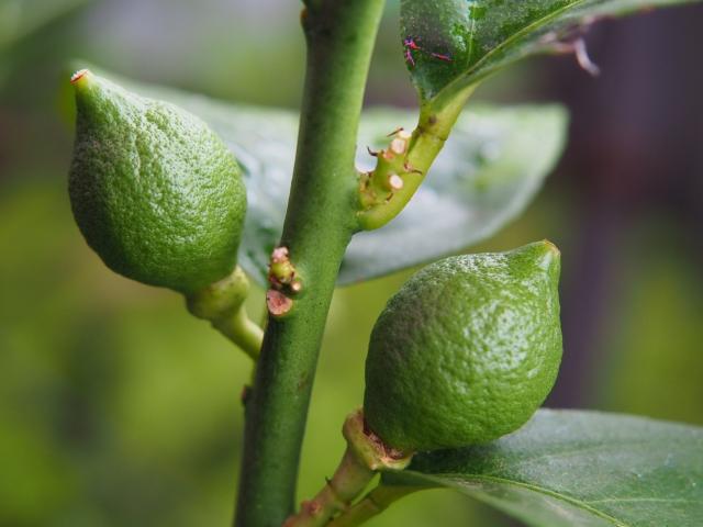 レモンの木が枯れた!復活できるのか?枯れる原因と枯れそうな時の対処法