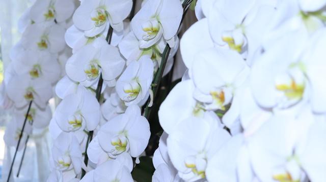 胡蝶蘭枯れたら再生復活可能?枯れる原因と枯れそうな時の対処方法とは?