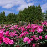 バラ枯れたら再生や復活は可能なの?枯れそうな時の対処法や判断基準を解説!
