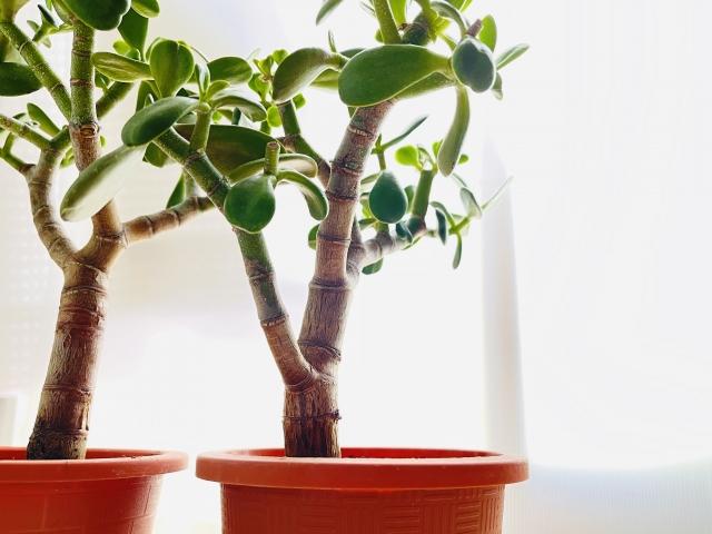 金のなる木が枯れたら復活できる?枯れそうな時の対処法や枯れたらやること